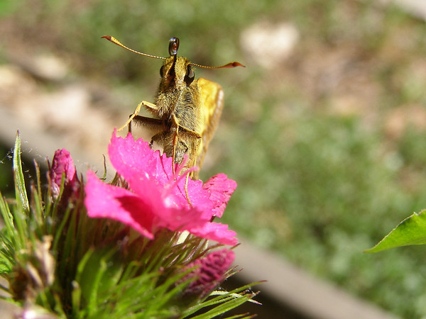 <b>Submitted By:</b> Norma Pszczolkowski <b>From:</b> Traverse City <b>Description:</b> Getting ready to sip some nectar.