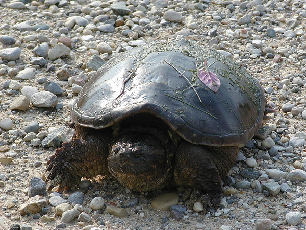 Large Snapping Turtle on Mill Road - Sort of weathered and beat-up on the <br /> shell.<br /> <br /> Bill Scott<br /> bshm@charter.net