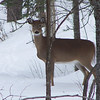 <b>Submitted By:</b> Coleen Sander <b>From:</b> Mancelona <b>Description:</b> Nice healthy doe by Penny Bridge near Mancelona.
