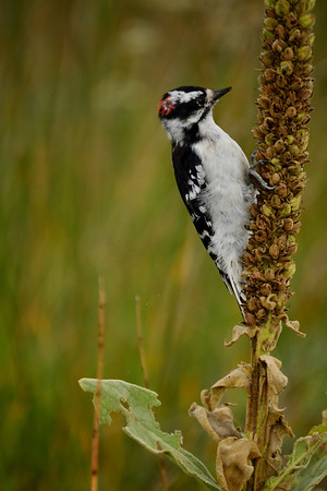 <b>Submitted By:</b> Myongsoon Cho <b>From:</b> Traverse City <b>Description:</b> Downy Woodpecker. Since we are having a hot and dry summer, wild birds also having difficult to finding foods.