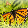 <b>Submitted By:</b> Peggy Zinn <b>From:</b> Traverse City <b>Description:</b> Monarch Butterfly that was playing out by Northport lighthouse, enjoying a warm summer day at the beach.