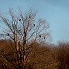 <b>Submitted By:</b> Kim Cronin <b>From:</b> Traverse City Mi  <b>Description:</b> Eagles, near Baxter Bridge 0n 29 1/2 Rd. South of Kingsley near Traverse City Mi. there were 9 in the tree 2 in the field and 1 circling in the air Feb 8 2010