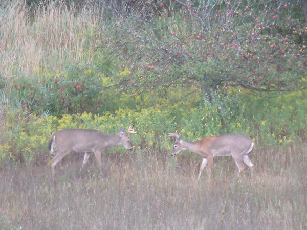 <b>Submitted By:</b> Judy Flees <b>From:</b> Traverse City <b>Description:</b> two bucks facing off in my back yard this morning 9/14/2011 at the south end of leelanau cnty.