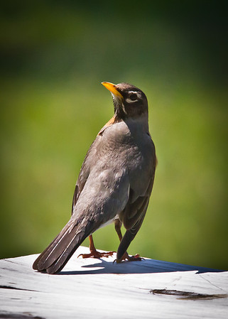 <b>Submitted By:</b> Peggy Sue Zinn <b>From:</b> Traverse City <b>Description:</b> Robin with an Attitude