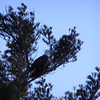 <b>Submitted By:</b> Norma Pszczolkowski <b>From:</b> Traverse City <b>Description:</b> Bald Eagle in the trees along East Bay - across from the 5 Mile road turn-off.  March 31, 2011