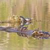 <b>Submitted By:</b> Peggy Sue Zinn <b>From:</b> Traverse City <b>Description:</b> Turtles enjoying the spring sunshine