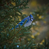 <b>Submitted By:</b> Peggy Sue Zinn <b>From:</b> Traverse City <b>Description:</b> Blue Jay perched in the tree behind my house