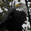 <b>Submitted By:</b> Sandy Coleman <b>From:</b> Traverse City <b>Description:</b> Bald Eagle