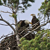 10 05 2013 Eagles on M-22, West Bay, Bingham Twp. - 105 - Version 2