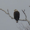Bald Eagle on Old Mission<br /> <br /> Photographer's Name: Cathy Lillie<br /> Photographer's City and State: Traverse City, MI
