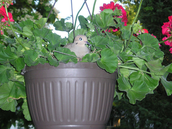 <b>Submitted By:</b> Joann Ewing & Brian Bensett <b>From:</b> Traverse City, MI <b>Description:</b> Pair of Mourning Doves have made nest on hanging basket on our front porch, they are sitting on 2 eggs. They are not bothered by sharing the porch with the rest of our family.