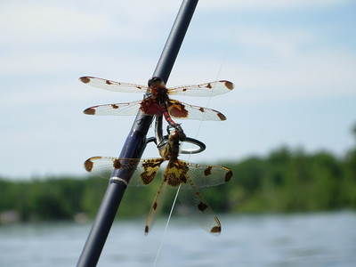 Paul Nepote Traverse City, Michigan Dragon Flies on Fife Lake Canon A620