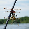 Paul Nepote<br /> Traverse City, Michigan<br /> Dragon Flies on Fife Lake<br /> Canon A620
