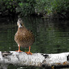 <b>Submitted By:</b> Kristen Frazier <b>From:</b> Clio, MI <b>Description:</b> You Lookin at Me? Duck on a log.  Fife Lake August 2010