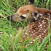 Bambi In my back yard!!!<br /> Ron Hewlette  Kingsley MI