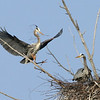 Great Blue Herons mending their nest at the many nested rookery<br /> located in the Deadstream Swamp at Houghton lake Michigan. A variety of bird<br /> activity can be viewed from the public lookout on Old 27.<br /> <br /> John Novosad<br /> Houghton Lake