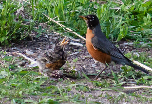 Mama and baby robin.<br /> <br /> Photographer's Name: Pamella  Murphy<br /> Photographer's City and State: Traverse City, MI