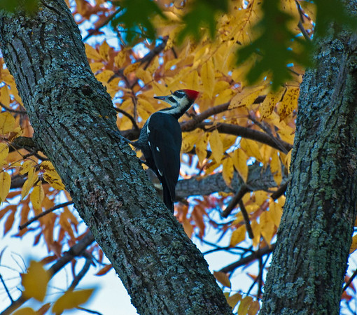 <b>Submitted By:</b> Steve Nowakowski <b>From:</b> Lambertville, Michigan <b>Description:</b> Pileated Woodpecker sitting in a tree along the shoreline of Duck Lake during the fall colors of 2011 inside Interlochen State Park.