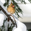 <b>Submitted By:</b> Helen Denoyer <b>From:</b> Traverse City <b>Description:</b> I love the soft colors of the female cardinal against the snow and hemlock. Taken in my backyard. A view from our deck.
