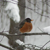 <b>Submitted By:</b> Becky Milewski <b>From:</b> Lake Ann, MI  49650 <b>Description:</b> First Robin of the Spring, caught in a snow storm. Taken out my window. 3/23/11