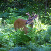 <b>Submitted By:</b> Coleen Sander <b>From:</b> Mancelona <b>Description:</b> Buck in velvet during month of July, 2010 in the Houghton Lake area.