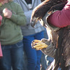 My name is Haley Lillie, and I live in Maple City. This photo of a young <br /> Bald Eagle was taken in November of 2008. The eagle, which was rehabilitated <br /> by Wings of Wonder, was released at Glen Lake Community Schools, in Maple <br /> City.