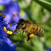 <b>Submitted By:</b> Jason Rehahn <b>From:</b> Traverse City <b>Description:</b> This be is collecting pollen from the Spider-wort plant by my front door. It had just finished raining and the sun had just appeared.