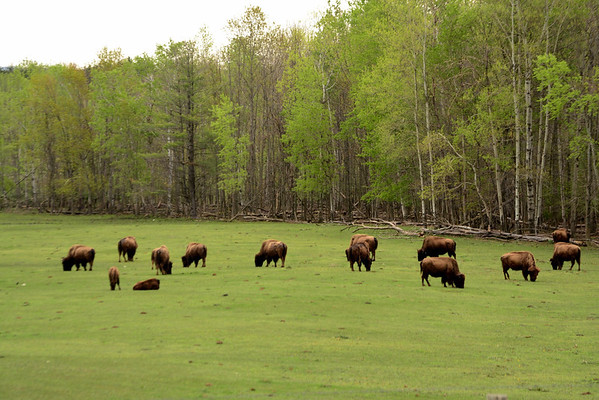 <b>Submitted By:</b> Myongsoon Cho <b>From:</b> Traverse City <b>Description:</b> Oleson's Buffalo Farm in Traverse City