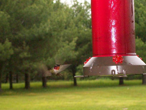 <b>Submitted By:</b> nancy Miela <b>From:</b> Fife lake <b>Description:</b> Hummingbird in flight at feeder.