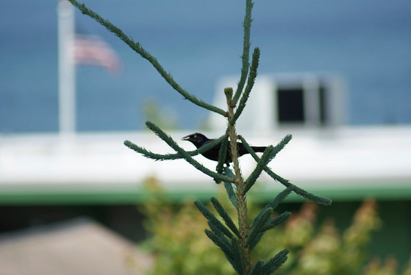 <b>Submitted By:</b> Caleb M. Thomas <b>From:</b> Petoskey <b>Description:</b> This photo was taken as I was walking to the Bayfront in Petoskey.  I saw this bird fly into the tree and just had to get this shot. This shot was taken Saturday July 3rd.