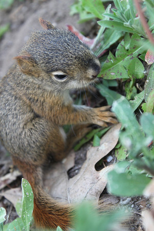 <b>Submitted By:</b> roberta Benedict <b>From:</b> grawn <b>Description:</b> baby squirrel eating