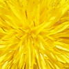<b>Submitted By:</b> Gwen Rusnell <b>From:</b> Mancelona <b>Description:</b> Dandelion's have such an amazing color!