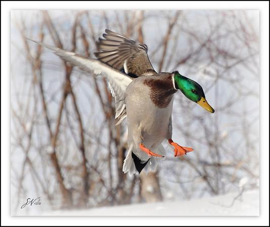 <b>Submitted By:</b> Susan Niles <b>From:</b> Traverse City <b>Description:</b> Mallard duck preparing to land near Boardman Lake, Traverse City.