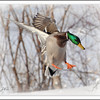 <b>Submitted By:</b> Susan Niles <b>From:</b> Traverse City <b>Description:</b> Mallard duck preparing to land near Boardman Lake, Traverse City.