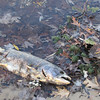 <b>Submitted By:</b> Veronica Gelakoska <b>From:</b> Traverse City <b>Description:</b> Traverse City State Park 11/18/12. Dozens of dead fish washing up.