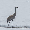 Sand Hill Crane<br /> <br /> Photographer's Name: Peggy Sue  ZINN<br /> Photographer's City and State: Traverse City, MI