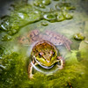 Froggin Around<br /> <br /> Photographer's Name: Peggy Sue  Zinn<br /> Photographer's City and State: traverse city, MI