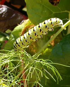 Caterpillar on Fennel  Photographer's Name: Betsy Taylor Photographer's City and State: Traverse City, MI