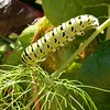 Caterpillar on Fennel<br /> <br /> Photographer's Name: Betsy Taylor<br /> Photographer's City and State: Traverse City, MI