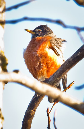<b>Submitted By:</b> Peggy Sue Zinn <b>From:</b> traverse city <b>Description:</b> ONE VERY COLD ROBIN RETHINKING HIS SPRING BREAK PLANS.