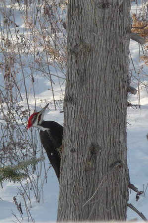 <b>Submitted By:</b> Mary O. Kulesza <b>From:</b> Kewadin <b>Description:</b> Photo of Woodpecker taken on a chilly Dec 28th,2010 in Kewadin. Walked into living room and saw the vibrant color of black and red in sharp contrast to the grays and white of winter.