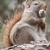 <b>Submitted By:</b> Gwen Rusnell <b>From:</b> Mancelona <b>Description:</b> Taken 3.24.12 Hungry little Red Squirrel