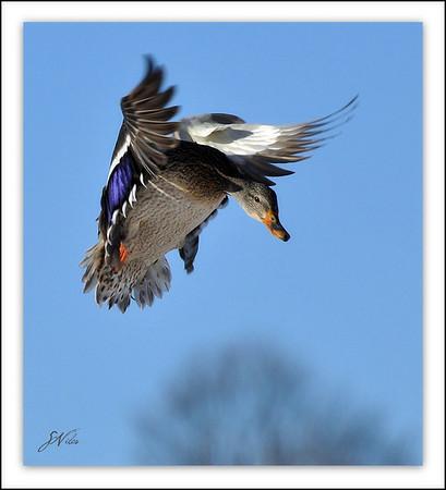 <b>Submitted By:</b> Susan Niles <b>From:</b> Traverse City <b>Description:</b> Mallard duck preparing to land near Boardman Lake, Traverse City