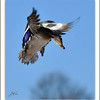 <b>Submitted By:</b> Susan Niles <b>From:</b> Traverse City <b>Description:</b> Mallard duck preparing to land near Boardman Lake, Traverse City