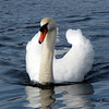 Boardman Lake Swan<br /> Paul J Nepote - Traverse City<br /> Canon PowerShot SX10IS