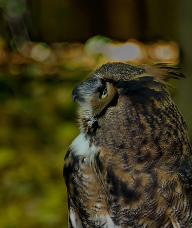 <b>Submitted By:</b> Laurie Lavrack <b>From:</b> Lake Ann <b>Description:</b> Great Horned Owl at Wings of Wonder sanctuary, Empire