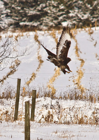 <b>Submitted By:</b> Peggy Sue Zinn <b>From:</b> Traverse City <b>Description:</b> Not sure what this was, think it was possibly a hawk of some varity.