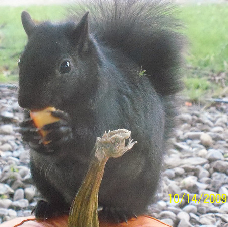<b>Submitted By:</b> Sue Phelps <b>From:</b> Traverse City <b>Description:</b> Squirrel that has been eating our pumpkin.