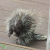 PORCUPINE wanting in!<br /> <br /> Taken from inside our house on Torch Lake<br /> Tom Lance