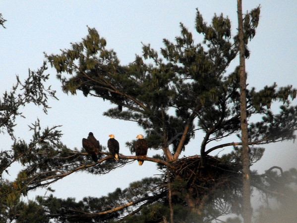 <b>Submitted By:</b> Kristen Frazier <b>From:</b> Clio, MI  <b>Description:</b> Eagle Family perched near their nest on Fife Lake in July 2010.